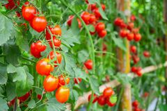 Free Tomatoes Plant Growth In Organic Greenhouse Garden Ready To Harvest Royalty Free Stock Photography - 144652017