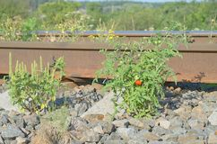 Tomatoes of plant in railway stone in wild Stock Images