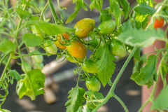 Tomatoes plant Royalty Free Stock Image