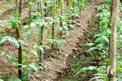 Tomatoes plantation Royalty Free Stock Photography