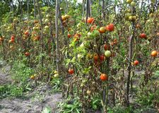 Tomatoes plantation get sick by late blight. Phytophthora infestans is an oomycete that causes the serious tomatoes disease. Known as late blight or potato Royalty Free Stock Photo