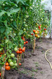 Tomatoes plants in the greenhouse royalty free stock photography