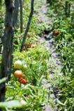 Tomatoes plants Stock Image