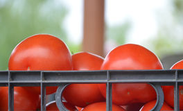 Tomatoes in a plastic box Royalty Free Stock Photos