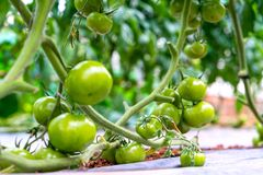 Tomatoes prepared in the garden. This is a fruit rich in anthocyanin, high antioxidants that slow down the aging process is very beneficial for humans royalty free stock photos