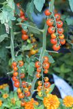 Tomatoes prepared in the garden. This is a fruit rich in anthocyanin, high antioxidants that slow down the aging process is very beneficial for humans stock photo
