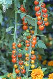 Tomatoes prepared in the garden. This is a fruit rich in anthocyanin, high antioxidants that slow down the aging process is very beneficial for humans royalty free stock photography