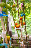 Tomatoes production Stock Photography