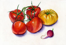 Tomatoes and radish. Red and yellow tomatoes and pink radish - colorful vegetables watercolor pencils Stock Photography