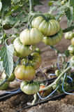 Tomatoes raf Stock Photography