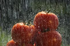 Tomatoes in the rain Royalty Free Stock Photo