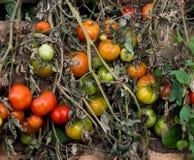 Tomatoes Stock Photos