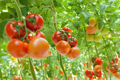 Tomatoes. Ripe tomatoes in a greenhouse Stock Image