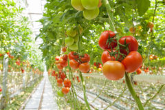 Tomatoes. Ripe tomatoes in the greenhouse Royalty Free Stock Photo