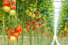Tomatoes. Ripe tomatoes in the greenhouse Stock Photography