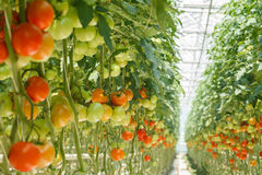 Tomatoes. Ripe tomatoes in the greenhouse Royalty Free Stock Photography