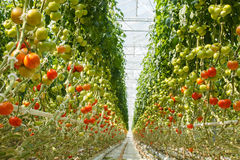 Tomatoes. Ripe tomatoes in the greenhouse Royalty Free Stock Images