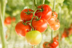 Tomatoes. Ripe tomatoes in the greenhouse Stock Photos