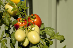 Tomatoes Ripe. Two ripe red tomatoes on a vine with five other yellow tomatoes not yet ripe Stock Photos