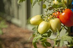 Tomatoes Ripe. Two ripe red tomatoes on a vine with five other yellow tomatoes not yet ripe Stock Photo