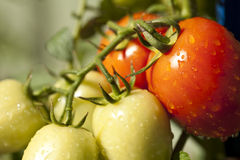 Tomatoes Ripe Stock Image