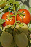 Tomatoes Ripe. Two ripe red tomatoes on a vine with four other yellow tomatoes not yet ripe Stock Photos