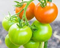 Tomatoes (Ripe & Unripe) Stock Image