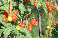 Tomatoes ripe on the vine. Royalty Free Stock Photography