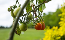 Tomatoes ripeing on the vine. Stock Photo