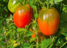 Tomatoes ripen on the branches of a Bush. Stock Photo