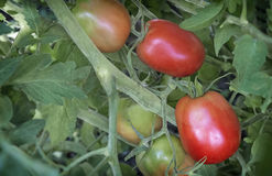 Tomatoes ripen on the branches of a Bush. Large ripe tomatoes ripen in the garden among the green leaves. Presents closeup Royalty Free Stock Photos