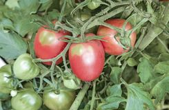Tomatoes ripen on the branches of a Bush. Large ripe tomatoes ripen in the garden among the green leaves. Presents closeup Stock Images