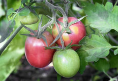 Tomatoes ripen on the branches of a Bush. Large ripe tomatoes ripen in the garden among the green leaves. Presents closeup Stock Photography