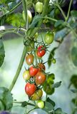 Tomatoes ripen. Cherry cultivar. Stock Photography