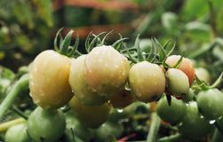 Tomatoes ripen fully. In the garden Royalty Free Stock Photo