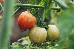 Tomatoes ripen fully. In the garden Stock Photo