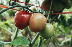 Tomatoes ripen fully. In the garden Stock Photos