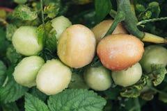 Tomatoes ripen fully Royalty Free Stock Photos