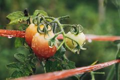 Tomatoes ripen fully. In the garden Royalty Free Stock Images