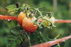 Tomatoes ripen fully. In the garden Stock Images