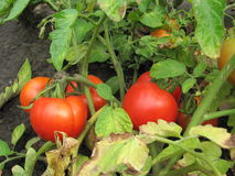 Tomatoes. Ripen in the garden Royalty Free Stock Photos