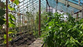Tomatoes ripen in the greenhouse. Tied tomatoes ripen in the greenhouse. growing organic tomatoes on a farm stock video
