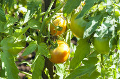 Tomatoes ripen on the stalk Royalty Free Stock Photos