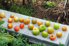 Tomatoes Ripening on Garden Wall Stock Image