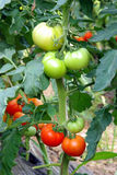 Tomatoes ripening in greenhouse Royalty Free Stock Photography