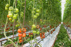 Tomatoes ripening in a greenhouse Royalty Free Stock Photo