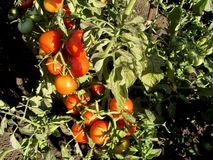 Tomatoes ripening in the hot sun. stock photo