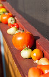 Tomatoes Ripening on an Outdoor Window Sill. An angled view of some garden field tomatoes in various stages of ripening up on an outdoors window sill in the sun Royalty Free Stock Images