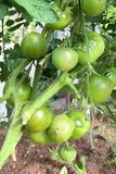Tomatoes ripening on the plant. Tomato plants in a greenhouse Stock Photography