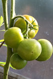 Tomatoes ripening on the plant Royalty Free Stock Photo